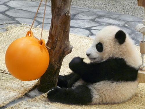 パンダの画像 p1_13